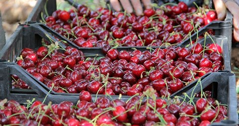 red cherry wholesale