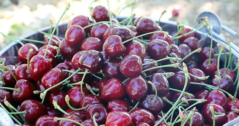 cherry wholesale